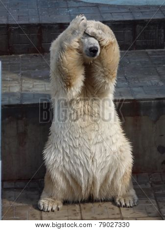 polar bear in the zoo hides head