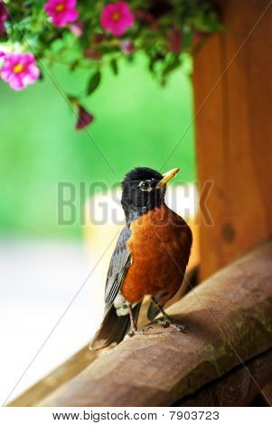 Robin perched on porch
