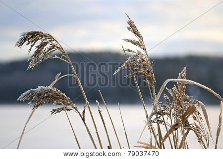 Frost on Common Reed seed heads (Phragmites australis) on the sea shore in winter. poster