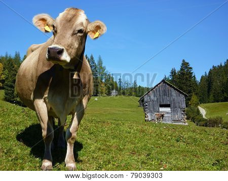 Dairy cow on the pasture