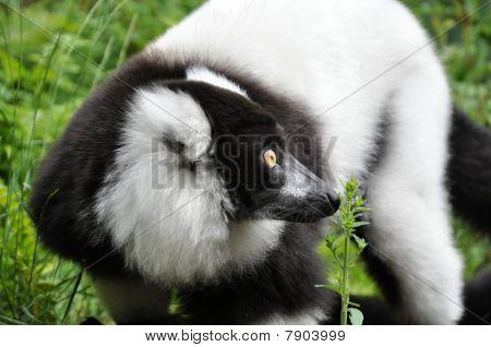 Curious Vari Lemur