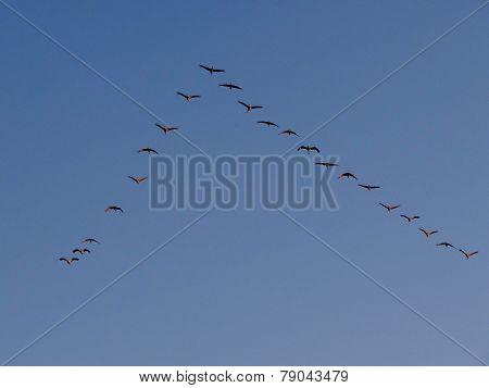 Sandhill Cranes Flying In Formation