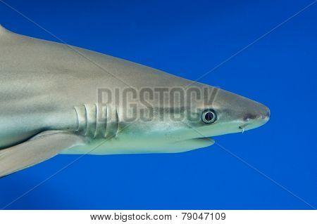 Carcharhinus Melanopterus -  Blacktip Reef Shark
