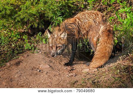 Red Fox Vixen (vulpes Vulpes) Stands Vigilant At Den