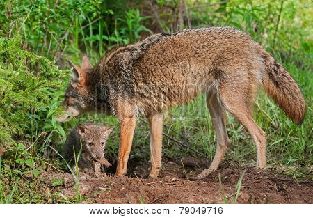Adult Coyote (canis Latrans) With Pup Underneath