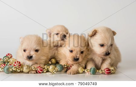 Four Puppy Of Breed A Pomeranian Spitz-dog In Studio