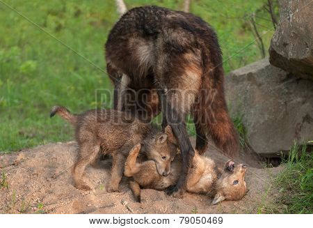 Black Wolf (canis Lupus) Stands Over Playing Pups