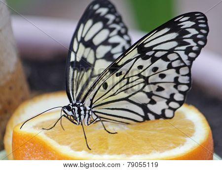 Butterfly Idea leuconoe on orange