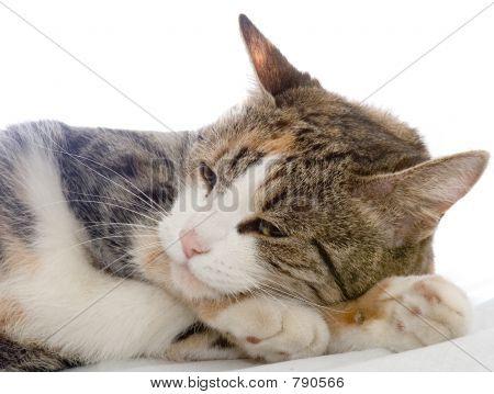 Drowsing cat