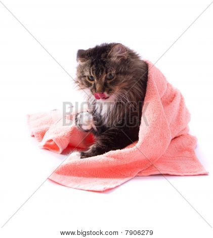The cat is licking its fur and is lying on bath towel. Pussy cat is lying on the peach-coloured towel. poster