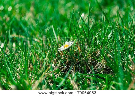 Daisy In The Grass.