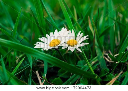 Daisies In The Grass.