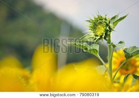 Young Sunflower in the field