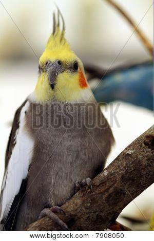 A budgie bird