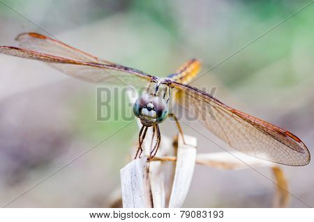 Close Up Dragonfly On Dry Grass With Blurred Background