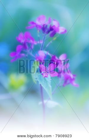 Lunaria, Flower Stage Honesty