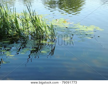Reed And Water-lily In The Pond