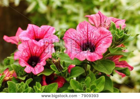 Petunia Surfinia Pink Vein