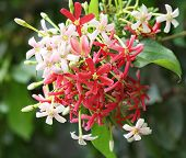 Quisqualis Indica flower plant Chinese honeysuckle Rangoon Creeper Combretum indicum poster