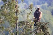 A Juvenile bald eagles scans the surroundings from it's perch in a tree. poster