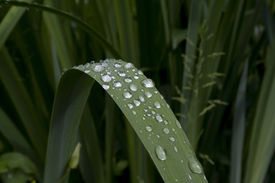 Dew Drops On The Leaf
