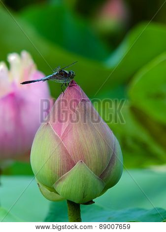 gragonfly and lotus