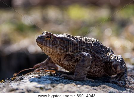 Toad sitting on a stone