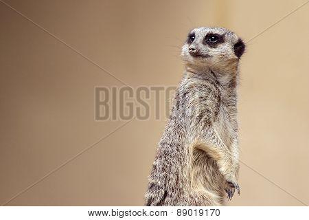 Soft focus Meerkat portrait standing guard looking away