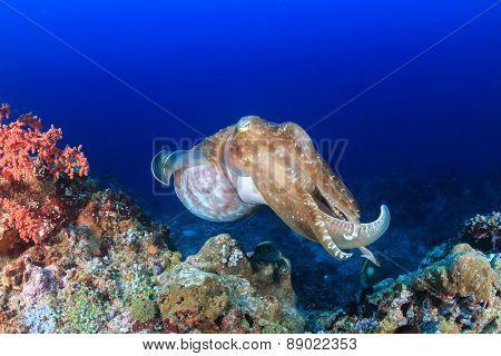 Big Cuttlefish.
