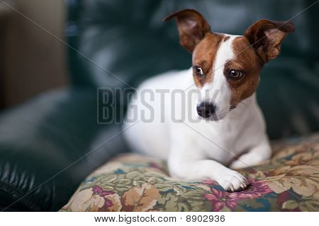 Jack Russell Terrier Puppy Portrait with Narrow Depth of Field. poster