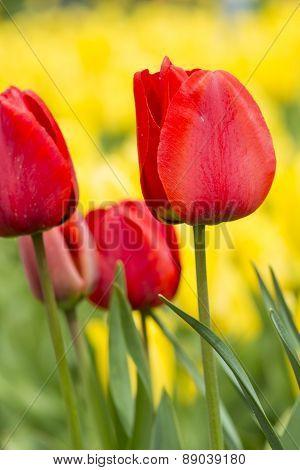 Beautiul Red Tulips