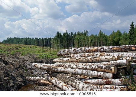 Birch Logs At Forest Clear Cut