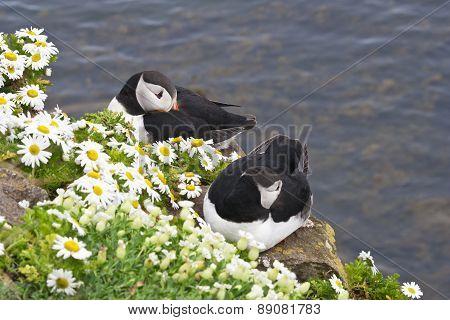 Atlantic puffin pair rests at Latrabjarg Cliffs, Iceland