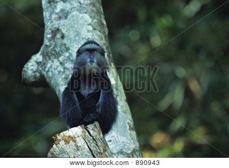 Blue Monkey Juvenile