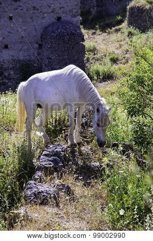 White Horse Grazing In The Meadow