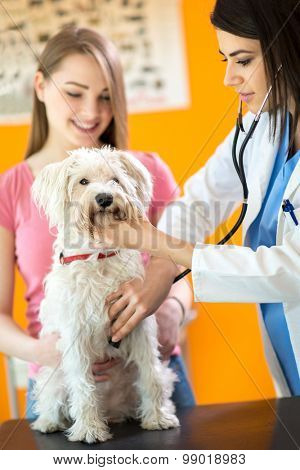 Examination with stethoscope of sick Maltese dog in vet infirmary poster