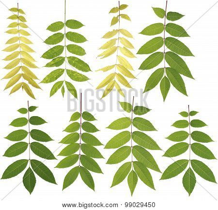Original Size Of The Collected Toon Tree Leaves Macro Isolated On White Background
