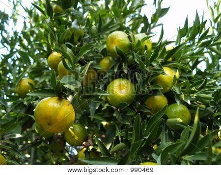 Cluster de mandarinas