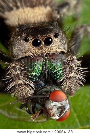 Large Jumping Spider With Fangs In Fly