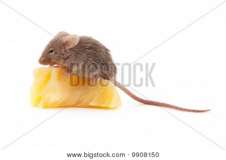 Mouse and cheese isolated on a white background poster