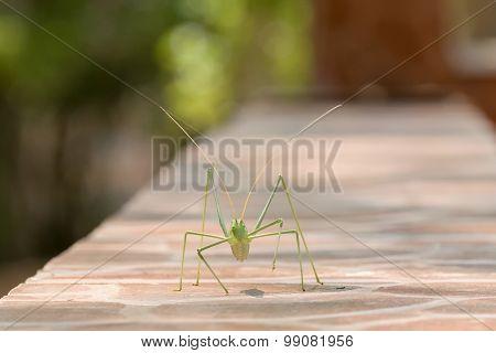 Katydid walking on a mantel. A beautiful macro portrait.