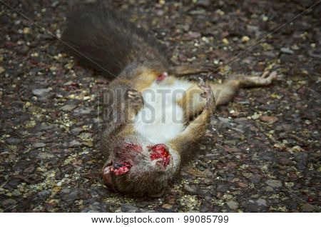 Disfigured bloody squirrel laying on asphalt