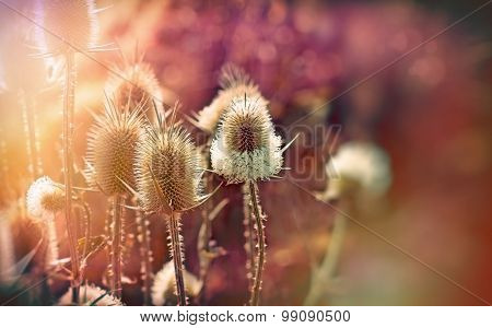 Thistle - burdock (beautiful nature)