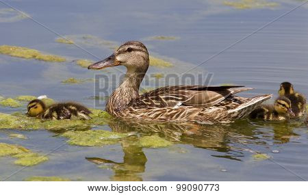 The Duck And Three Chicks