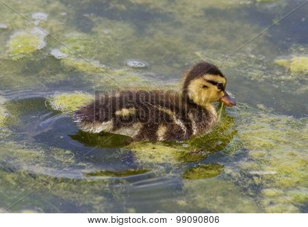 Cute Chick Of The Mallards Is Eating The Algae
