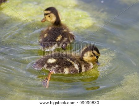 Two Cute Young Ducks Are Swimming Together