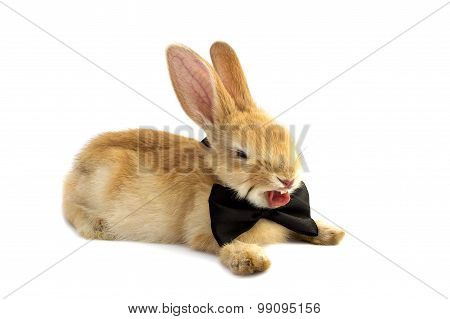 Bunny In A Bow Tie Yawns.