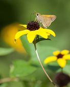 Tawny-edged Skipper (Polites themistocles) on Black-eyed Susan poster
