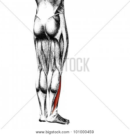 Concept or conceptual 3D gastrocnemius human lower leg anatomy or anatomical and muscle sketch isolated on white background poster