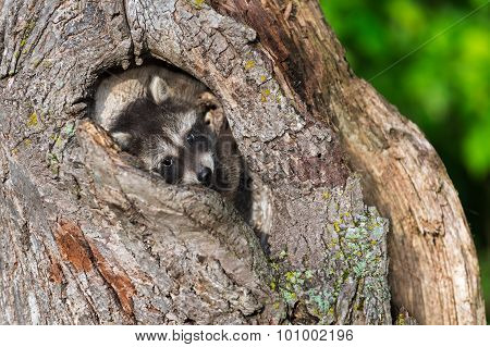 Young Raccoon (procyon Lotor) Huddles In Knothole